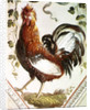 Detail of a cockerel by Pietro Rotati