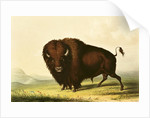 A Bison by George Catlin