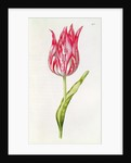 Tulip by Nicolas Robert