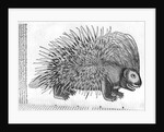 Porcupine by French School
