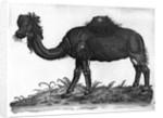 Dromedary by French School