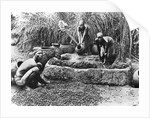 Making palm oil in Dahomey by French Photographer
