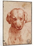 Head of a Dog by Parmigianino