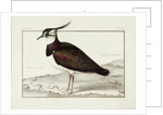 A Lapwing by Nicolas Robert