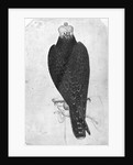 Hawk on hand, seen from behind by Antonio Pisanello