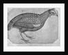 Guinea Fowl by Antonio Pisanello