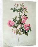 Les Roses de Thory, Rosa Multiflora Carnea by Pierre Joseph Redoute