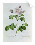 Claude-Antoine Thory Les roses by Pierre Joseph Redoute