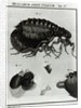 Table IV of Flies and Fleas by Johannes Augustin Rosel von Rosenhof