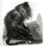 The Indian Waderoo Monkey (Silenus Veter) engraved by Pearson, October 1859 by English School