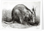 The Cape Ant-Eater at the Zoological Society's Gardens, Regents Park by English School
