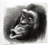 Chimpanzee Disappointed and Sulky by English School
