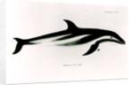 Dolphin by English School