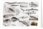 Ichthyology- Elasmobranch, Ganoid and Osseous Fishes by English School