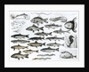 Ichthyology, Osseous Fishes, Marisipobranchs by English School