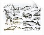 Cetacea Edentata by English School