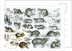 Rodentia-Rodents or Gnawing Animals by English School