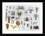 Crustacea and Arachnida by English School