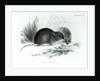 Mouse, Tierra del Fuego, South America by English School