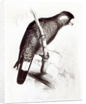 Calyptorhynchus Baudinii, or Baudin's Cockatoo by Edward Lear