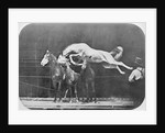 Jumping over three horses...chestnut horse Hornet by Eadweard Muybridge