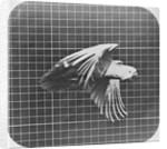 Cockatoo in flight by Eadweard Muybridge