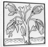 Cotton plant, as imagined by John Mandeville by English School