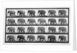 Elephant walking, plate 733 from 'Animal Locomotion' by Eadweard Muybridge
