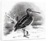 The Common Snipe by William Yarrell