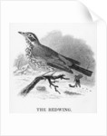 The Redwing by William Yarrell
