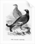 The Black Grouse by William Yarrell