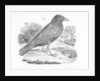 The Carrion Crow by Thomas Bewick