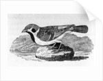 The Mountain Sparrow by Thomas Bewick