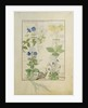 Blue Clematis or Crowfoot and Primula. Borage or Forget-me-not and Marguerita Daisy by Robinet Testard