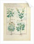 Ms Fr. Fv VI #1 fol.124r Top row: Aristolochia Rotundi and Aristolochia Longua. Bottom row: Armoise and Artemesia by Robinet Testard
