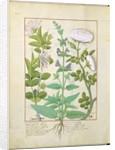 Honeysuckle, Sage and Rose by Robinet Testard