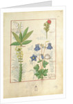 Illustration from 'The Book of Simple Medicines' by Mattheaus Platearius by Robinet Testard
