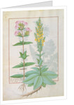 Illustration from the 'Book of Simple Medicines' by Mattheaus Platearius by Robinet Testard