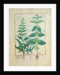 Urticaceae by Robinet Testard