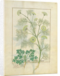 Parsley and Fennel by Robinet Testard