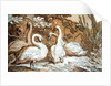 A Group of Swans by Abraham Bloemaert