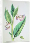 Common Comfrey, plate MCXVI by James Sowerby