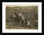 Jo Arnao 3, picking cranberries with his brother 6 and sister 9 at Whites Bog, Browns Mills, New Jersey by Lewis Wickes Hine