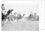 A camel race in full stride, Beersheba Race Meeting, Israel, 4th May by Anonymous