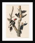 Ivory-billed Woodpecker by John James Audubon