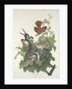 Ferruginous Thrush by John James Audubon