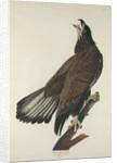 White-Headed Eagle by John James Audubon