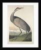 Hooping Crane by John James Audubon
