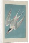 Roseate Tern by John James Audubon