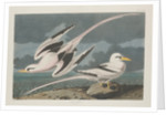 Tropic Bird by John James Audubon